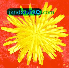 American Dandelions
